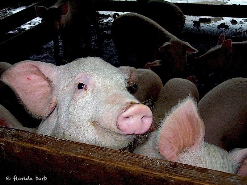 pigs2006