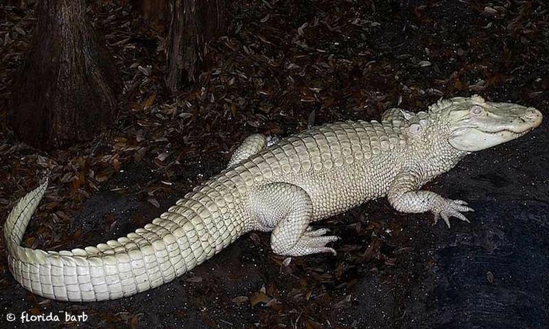 albino800FB