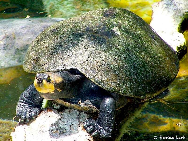 turtle800fb2