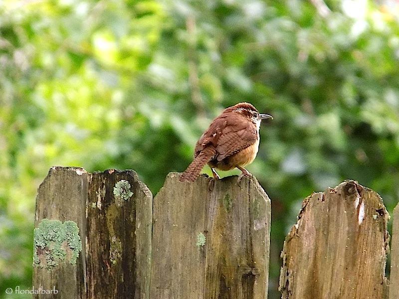 birdbrown800fb
