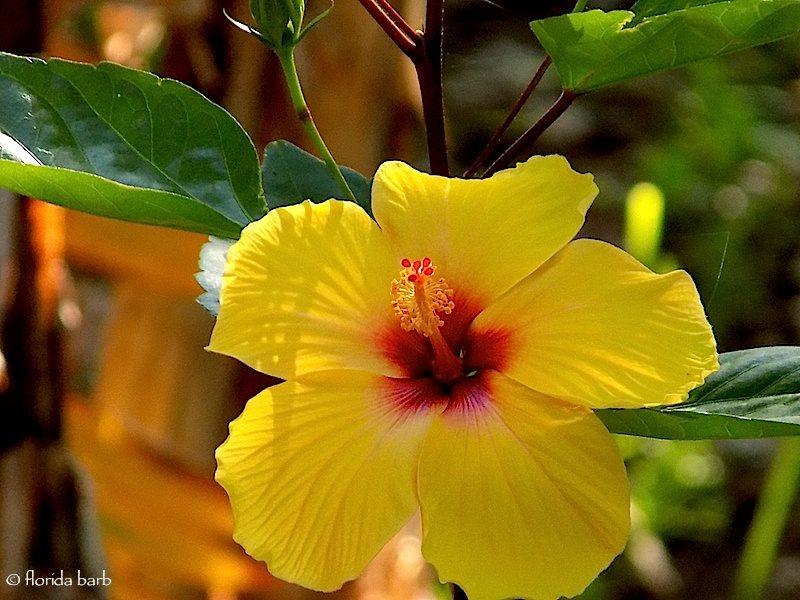 hibiscus800fb