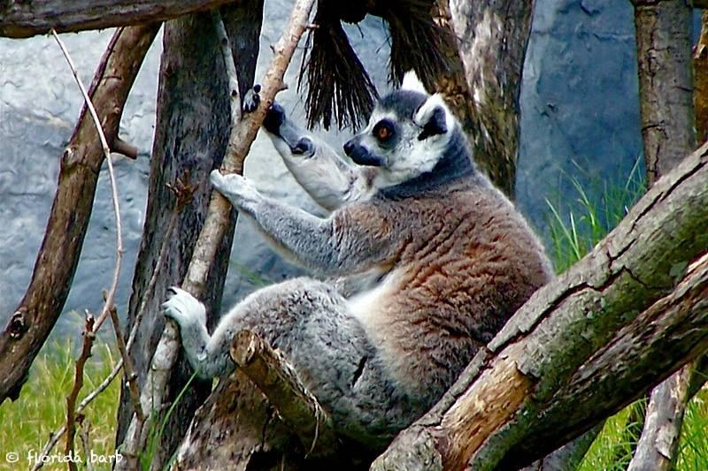 lemur800FB