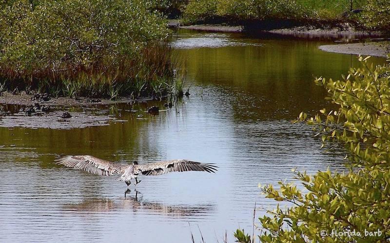 pelicanlanding800FB