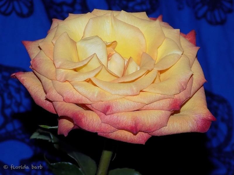 rosepearl800FB