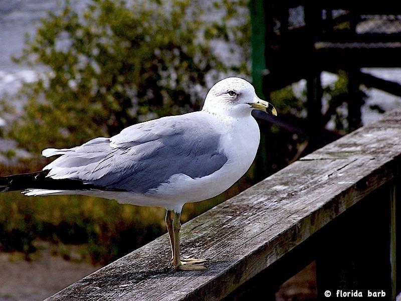 seagull800FB2