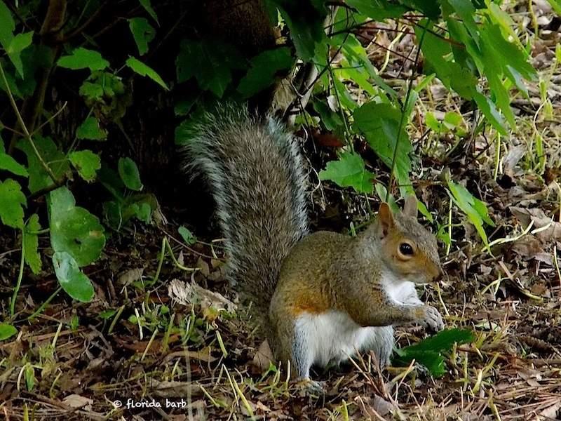 squirrel800FB