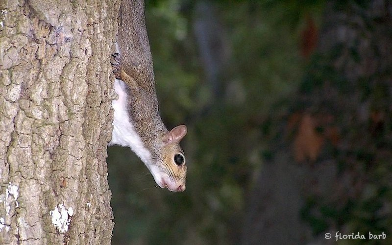 squirrel800FB4