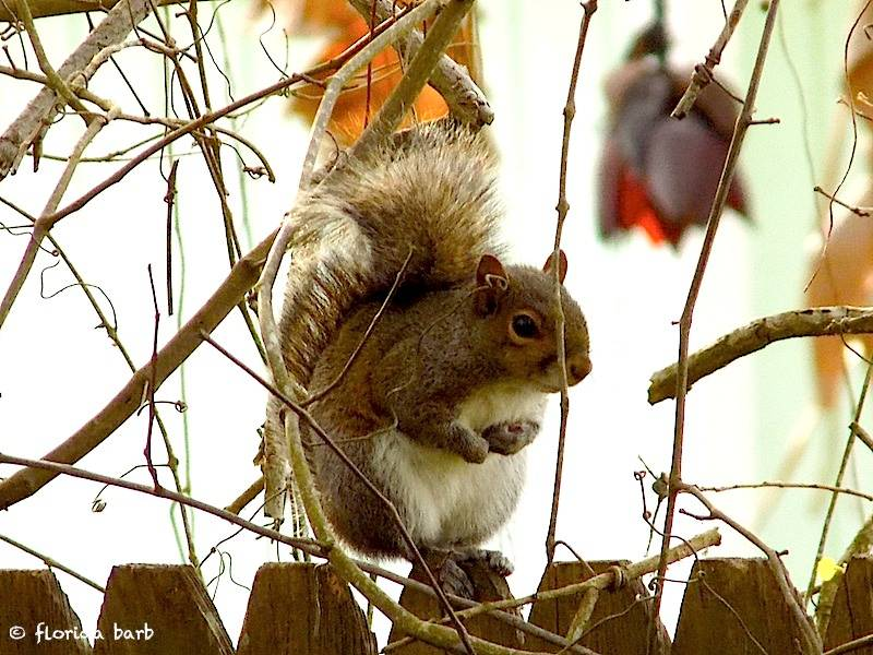 squirrelfence800FB