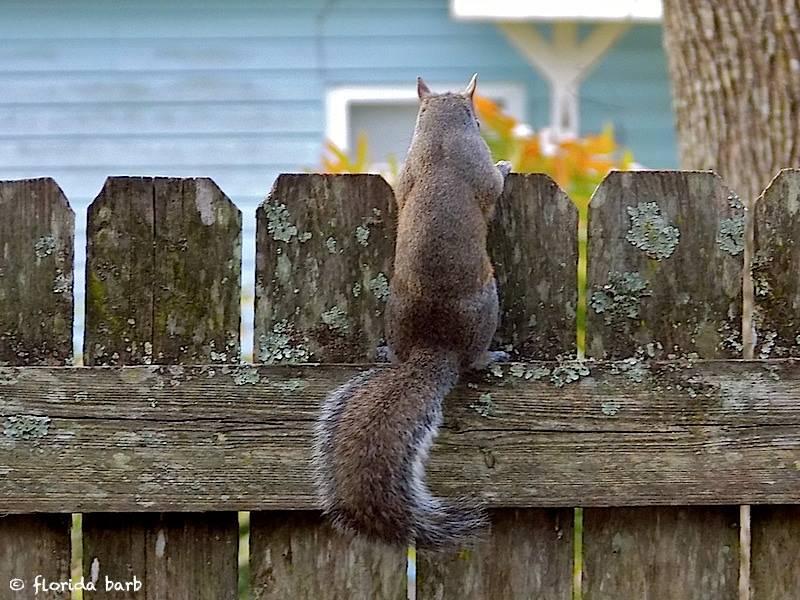 squirrelfence800FB2