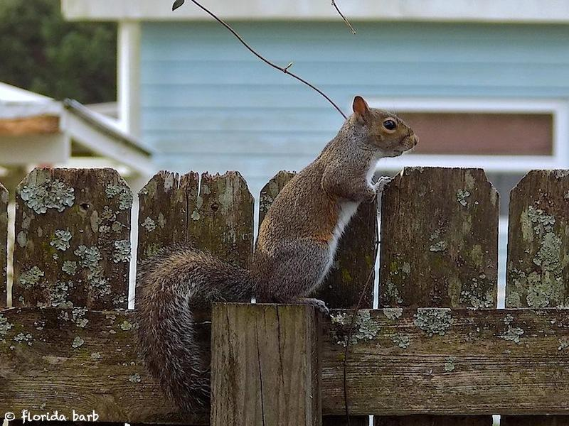 squirrelfence800fb3