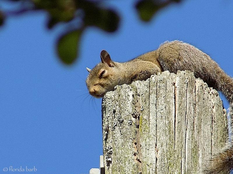squirrelpole800fb