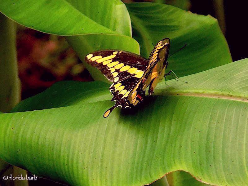 butterflygiantswallowtail