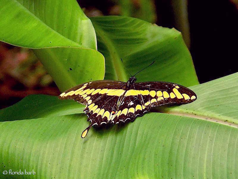 butterflygiantswallowtail2