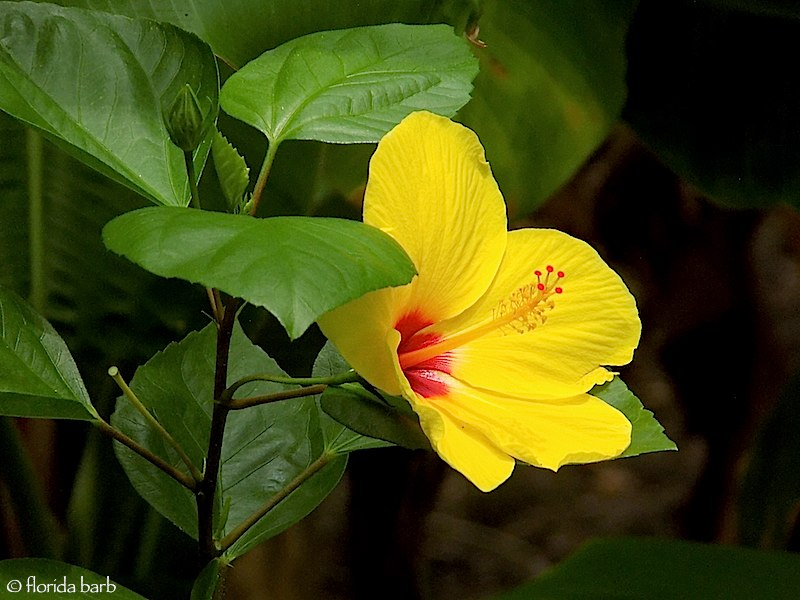 hibiscus_aug2020b