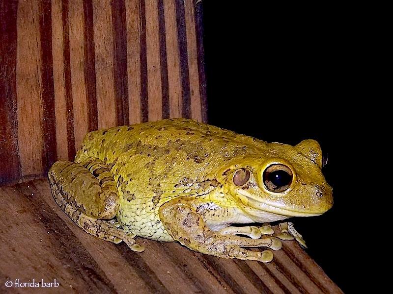 frog920b
